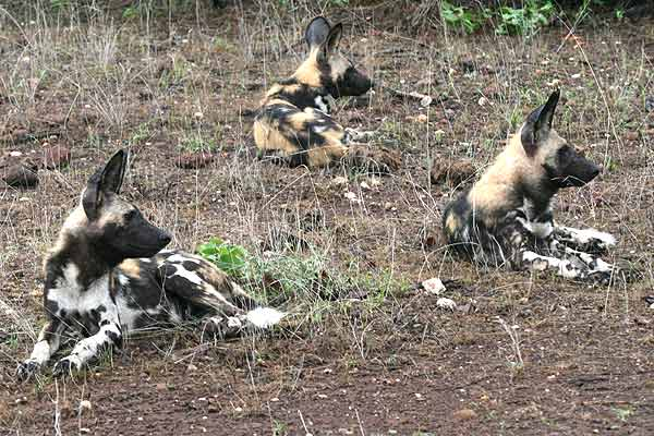 Wild dogs lying on rocky ground, Tuli Block, Botswana