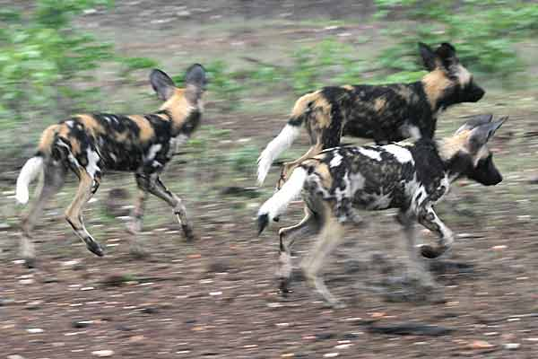 Wild dogs on the move, Botswana