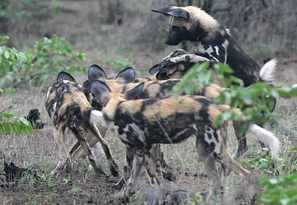 Wild dogs at play, Botswana