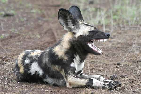 Wild dog showing its teeth, Tuli Block, Botswana