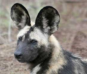 Wild dog head view showing large, rounded ears