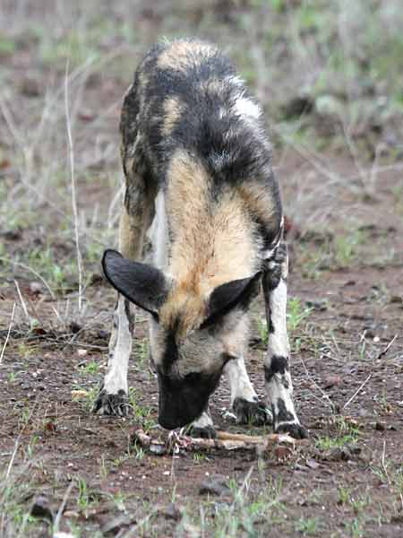 Wild dog sniffing at old bones