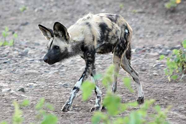 Wild dog on the prowl, Tuli Block, Botswana