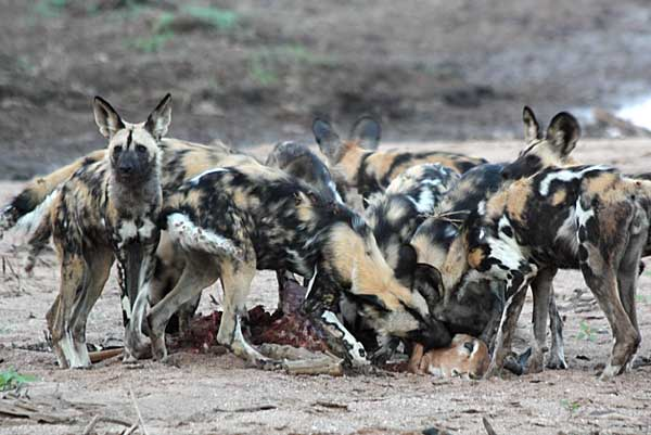 Wild dogs feeding on impala kill