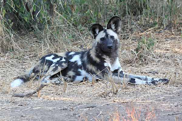 Wild dog relaxing on grassy patch