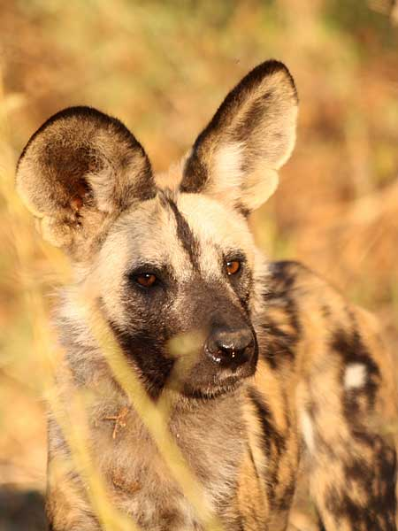 Close-up Of African Wild Dog (Lycaon Pictus