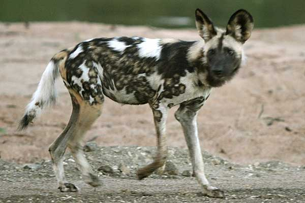 Wild dog on banks of Limpopo River, Botswana