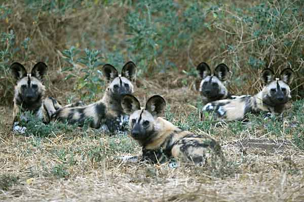 Wild dog group at rest, Tuli Block, Botswana
