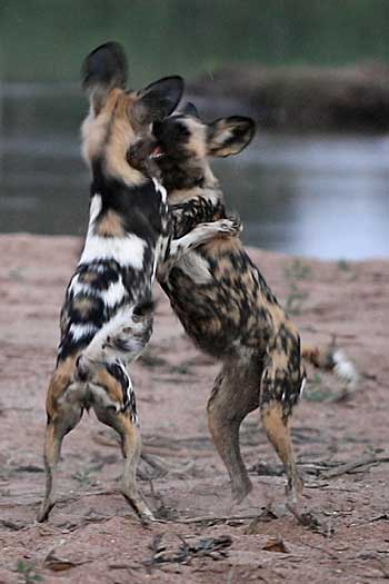 Young wild dogs at play on banks of river