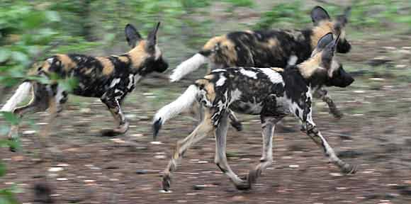 Wild dogs on the hunt