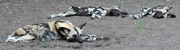 Wild dogs sleeping