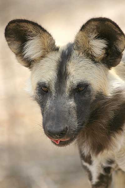 Picture of African wild dog, close-up