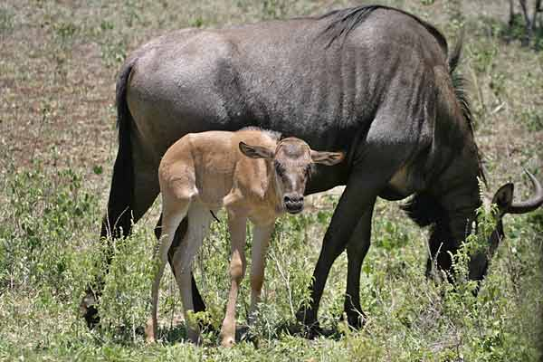 Wildebeest cow with calf, Kruger National park, South Africa