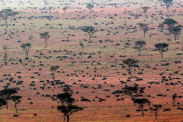 Wildebeest migrating across the Serengeti Plains, Tanzania