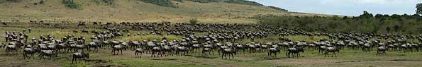 Wildebeest gathering on Kenya plains