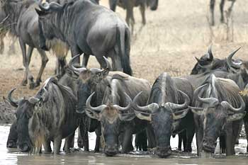 Wildebeest group drinking from waterhole, Serengeti National Park, Tanzania