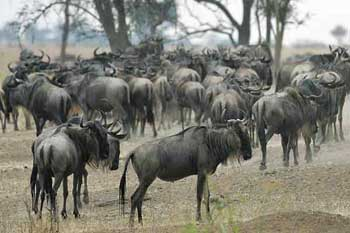 Wildebeest milling around looking for shade, Serengeti, Tanzania