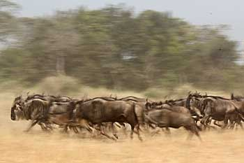 Wildebeest herd on the run, Serengeti national park, Tanzania