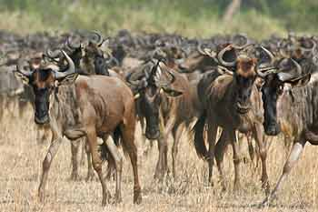 Wildebeest massing, Serengeti National Park, Tanzania