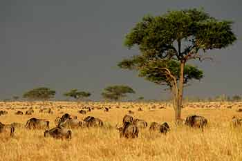 Wildebeest in long, winter grass, Serengeti National Park, Tanzania