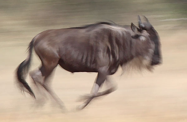 Motion blur picture of running wildebeest