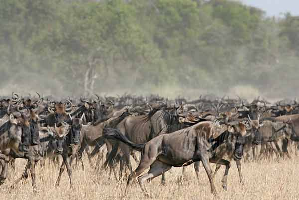 Wildebeest herd takes fright, Serengeti NP, Tanzania