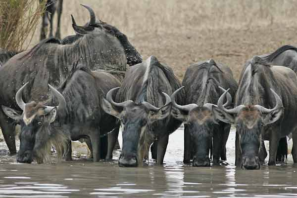 Wildbeest at waterhole, Serengeti NP, Tanzania