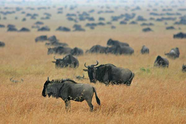 Wildebeest massing on the Serengeti Plains, Tanzania