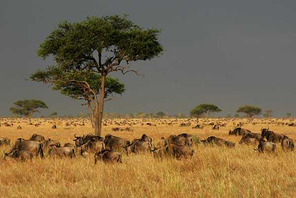 Wildebeest on Serengeti Plains against stormy sky