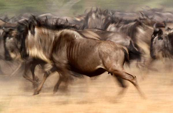 Wildebeest sprint off in panic, motion blur photo