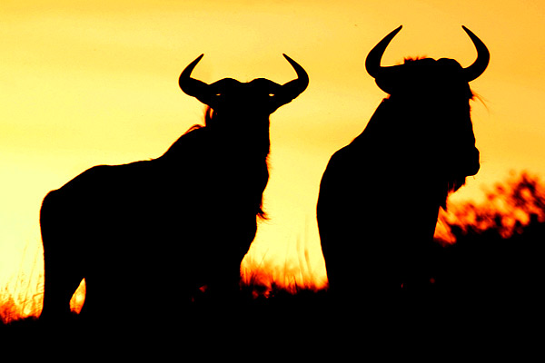 Wildebeest pair in silhouette at sunset