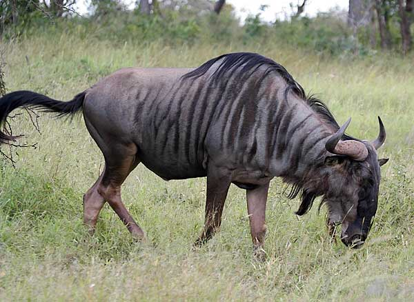 Blue Wildebeest, Kruger National Park