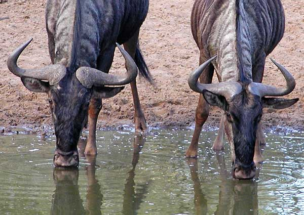Wildebeest pair bending to drink from waterhole, Mkuze Game Reserve