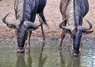 Wildebeest pair drinking from waterhole, Mkuzi Game Reserve