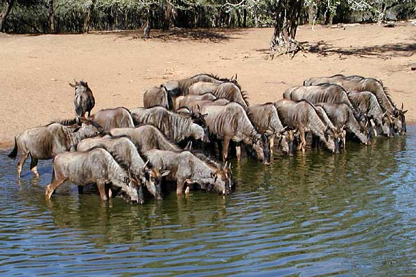 Wildebeest herd at waterhole, Mkuzi Game Reserve, South Africa