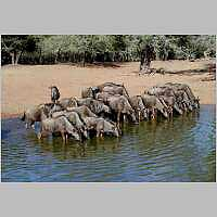 Wildebeest herd at waterhole