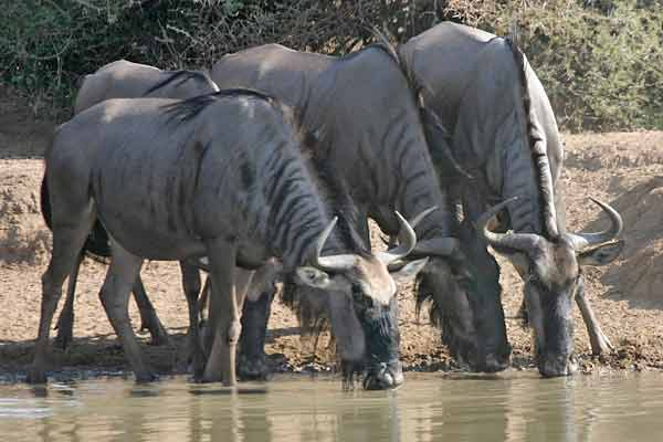 Wildebeest trio drinking from waterhole, Mkuzi Game Reserve, South Africa