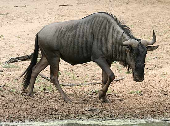 <br />african animals of blue wildebeest calf