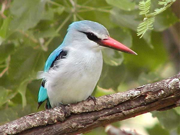 Pic of Woodland Kingfisher
