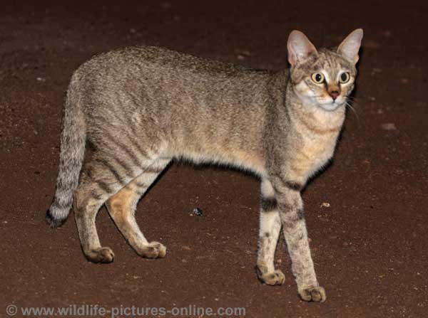 African wild cat standing side on, Kruger National Park, South Africa