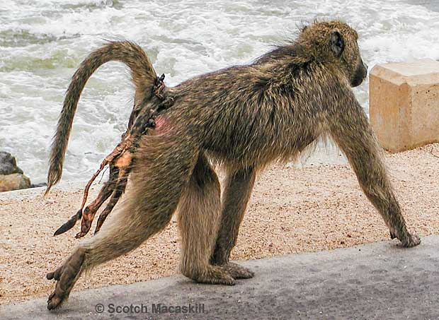 Baboon mother with remains of dead infant clearly visible on her back