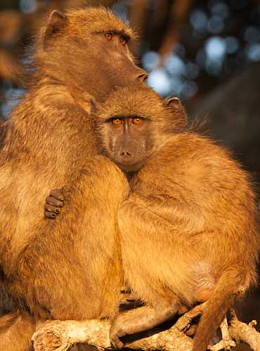 Baboon mother and youngster, Kruger National Park
