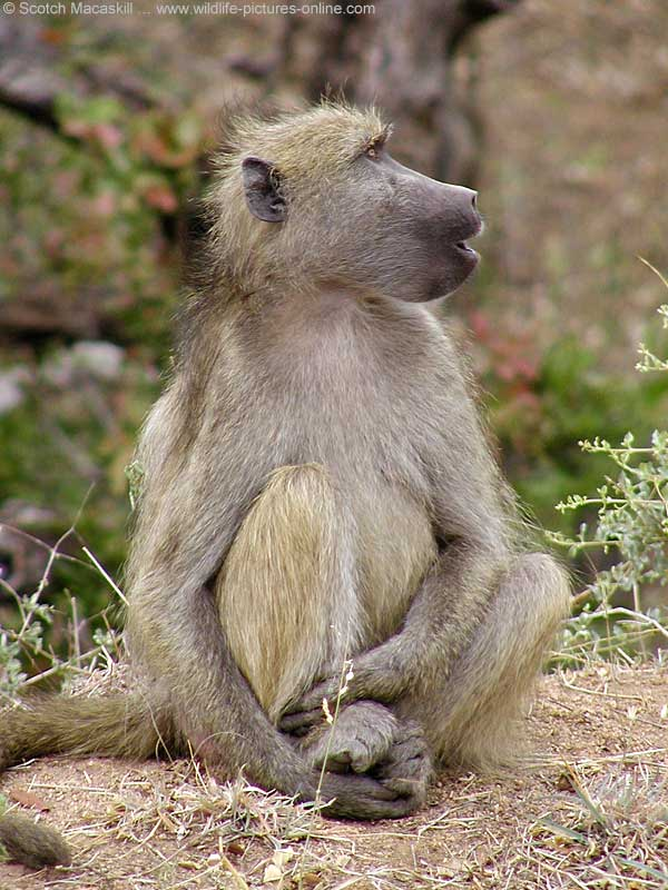 Baboon seated, looking up