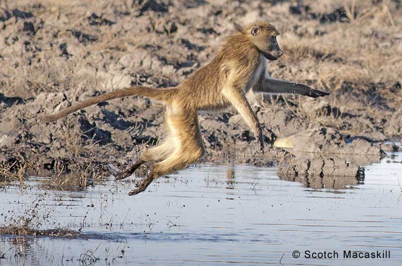Baboon leaps from river bank to cross river