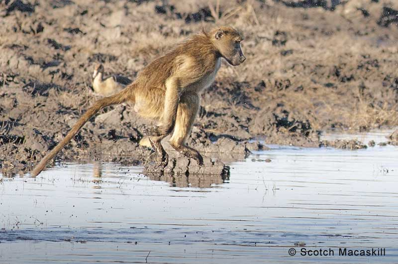 Baboon in mid-air during river crossing