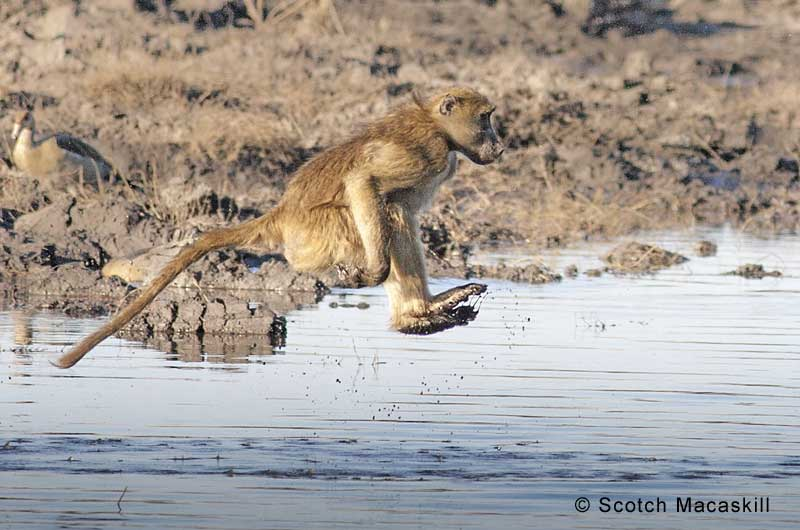 Baboon remains airborne during river crossing