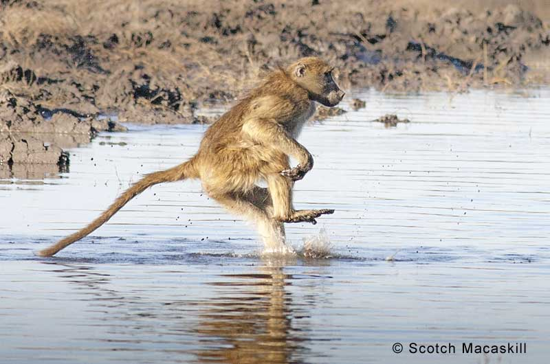 Baboon hits the water during river crossing