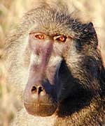 Chacma baboon close-up