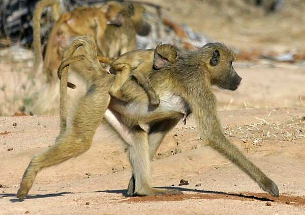 Mother baboon with baby on back