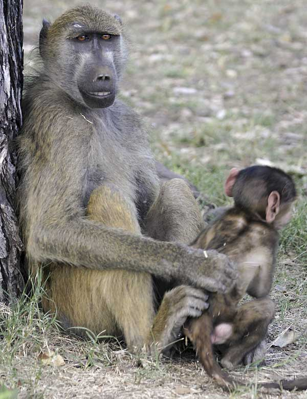 Baboon mother caring for her baby